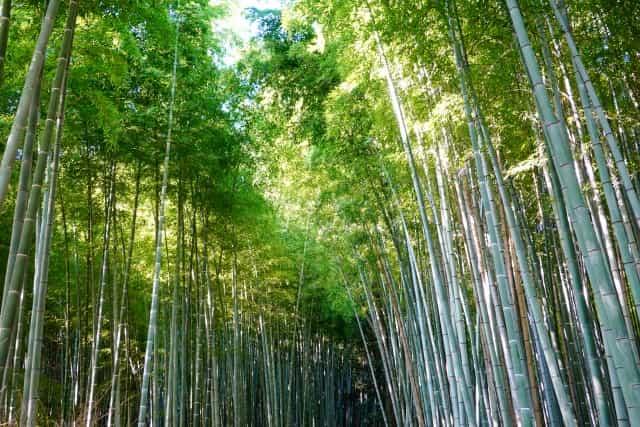 嵯峨嵐山-竹林